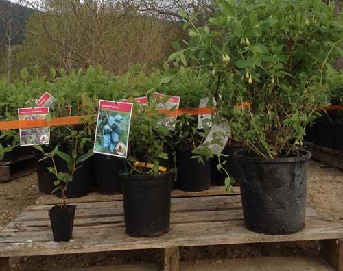Haskap Plants all varieties available
